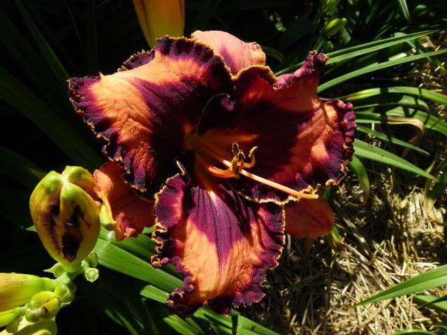 Photo of Daylily (Hemerocallis 'Extravagant') uploaded by Newyorkrita