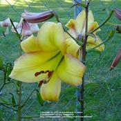 Location: Willamette Valley OregonDate: 2010-07-11 One of my seed grown pink-edged yellow trumpet lilies.