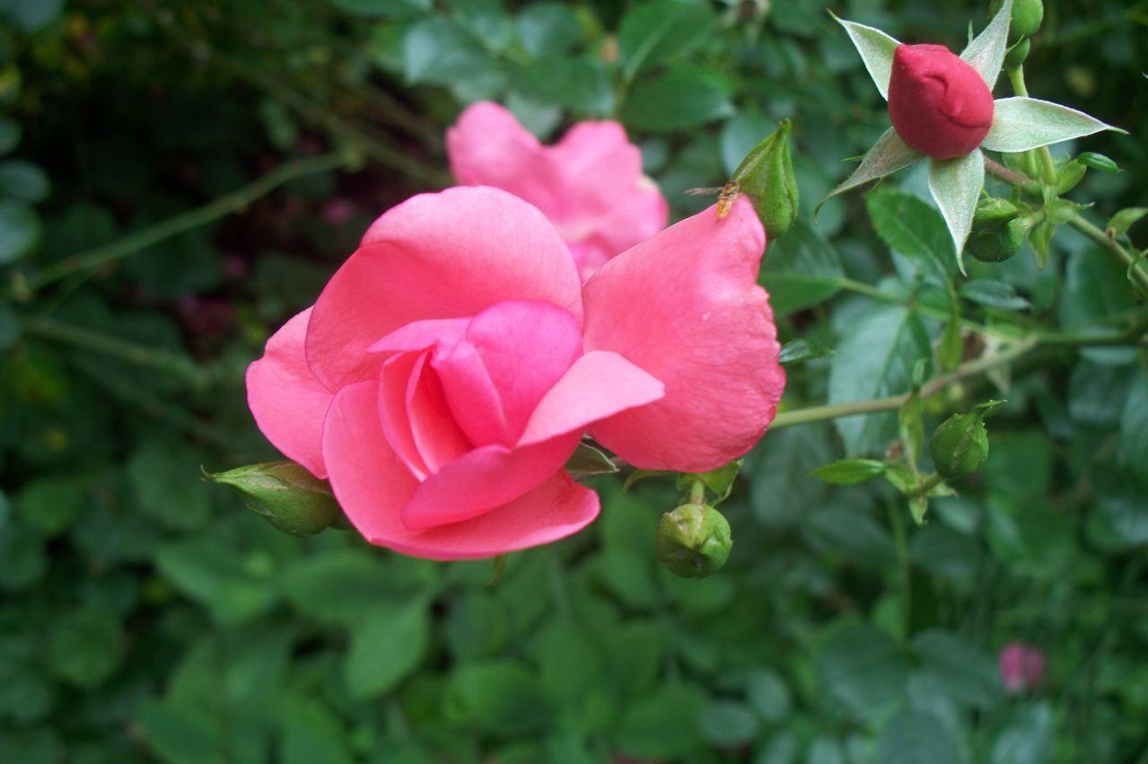 Photo of Rose (Rosa 'Carefree Beauty') uploaded by Sharon