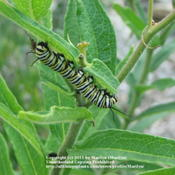 Location: My garden in Hebron, KYDate: 2006-07-13Monarch Caterpillar on leaf