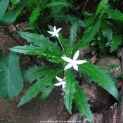 Location: Paraty, BrazilDate: 2010-01-21Growing in shady spots.