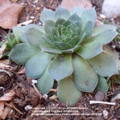 Location: Denver, CO (semi shade)Date: 2011-11-06New plant- 3 mos old. Source: North Hills Nursery, purchased as '