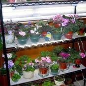 Date: February 16, 2007Miscellaneous African Violets
