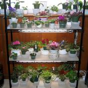 Date: July 25, 2007Another plant stand with Misc. African Violets