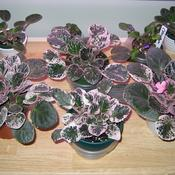 Date: June 1, 2007African Violets with pink/white variegated foliage