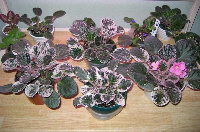 Photo of African Violets (Saintpaulia) uploaded by plantladylin