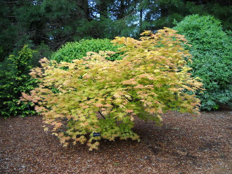 Photo Of The Entire Plant Of Full Moon Maple Acer Shirasawanum