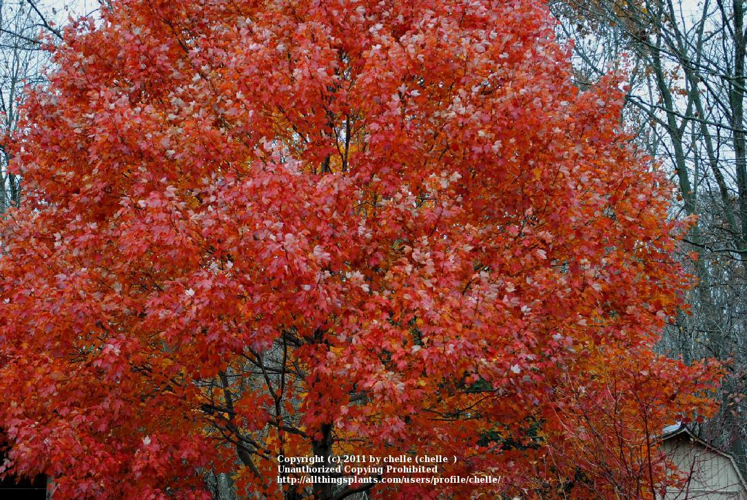 photo of the leaves of red maple acer rubrum october. Black Bedroom Furniture Sets. Home Design Ideas