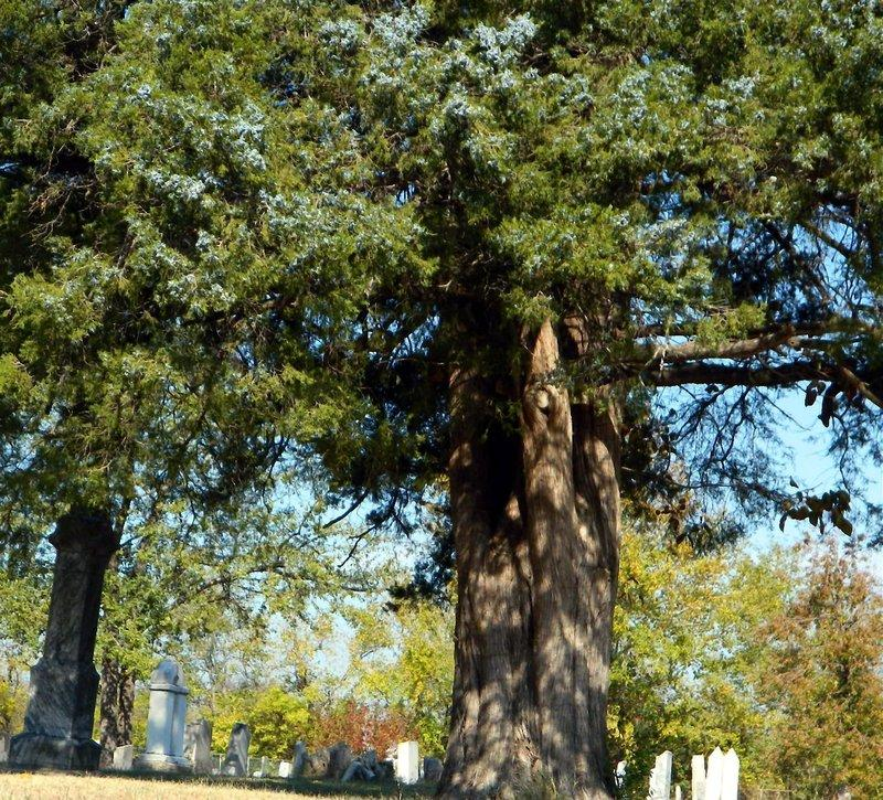 All about the eastern red cedar garden
