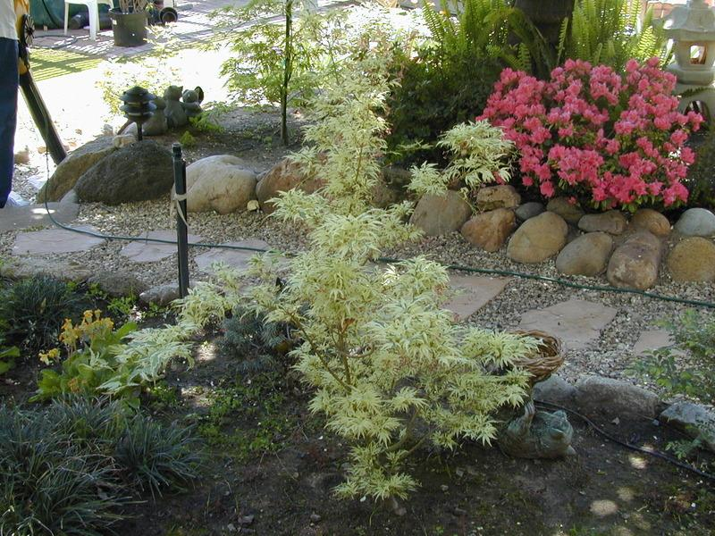 Photo Of The Entire Plant Of Japanese Maple Acer Palmatum
