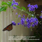 Location: My yard in Arlington, Texas.Date: Summer 2010Duranta with nectaring Monarch.