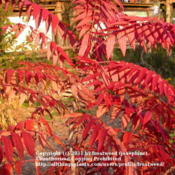 Location: Molly Hollar Wildscape Arlington, Texas.Date: Fall 2010Close up of Smooth Sumac in Fall color.