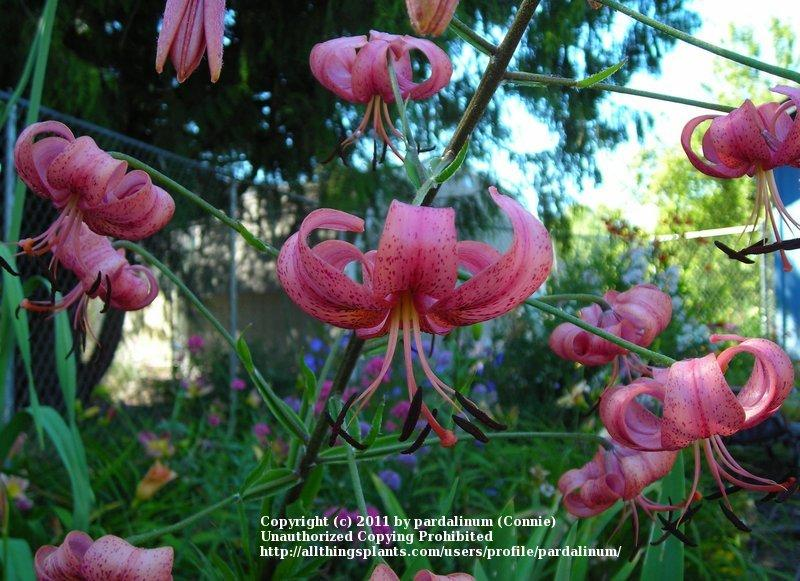 Photo of Lilies (Lilium) uploaded by pardalinum