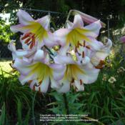 Location: Willamette Valley OregonDate: 2011-07-19 Seed grown tetraploid trumpet lily.