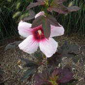 Location: Illinois State University Horticultural Center, Normal, ILDate: 2010-11-23Kopper King Hardy Hibiscus
