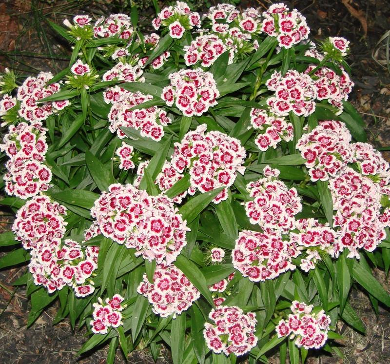 Dianthus plant care and collection of varieties garden mightylinksfo Choice Image