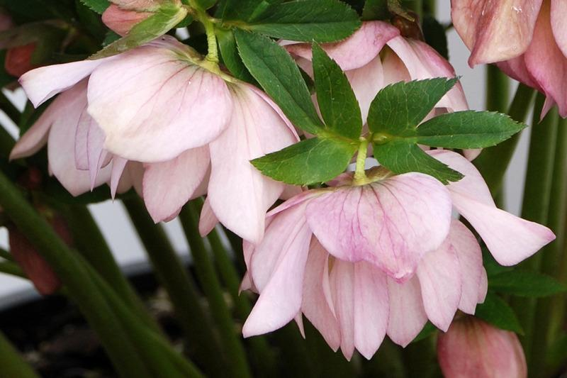 Photo of Hellebore (Helleborus Winter Jewels™ Cotton Candy) uploaded by NJBob