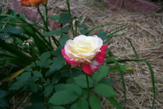 Photo of Rose (Rosa 'Double Delight') uploaded by Newyorkrita