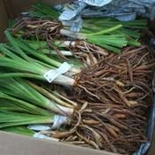 Location: In my garden. Date: spring Bare root daylilies received still in the packing box.