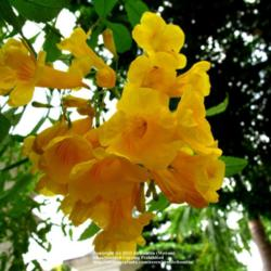 Plant id forum tropical yellow flowering tree garden image mightylinksfo
