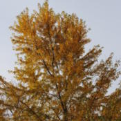 Location: My Northeastern Indiana Gardens - Zone 5bDate: 2011-11-02Autumn Leaf Color.