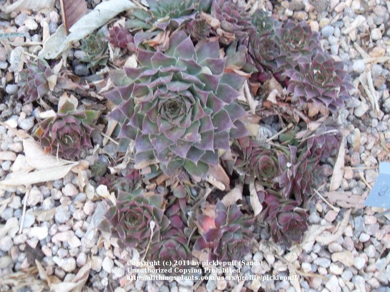 Photo of Hen and Chicks (Sempervivum 'Dolo') uploaded by picklepuff