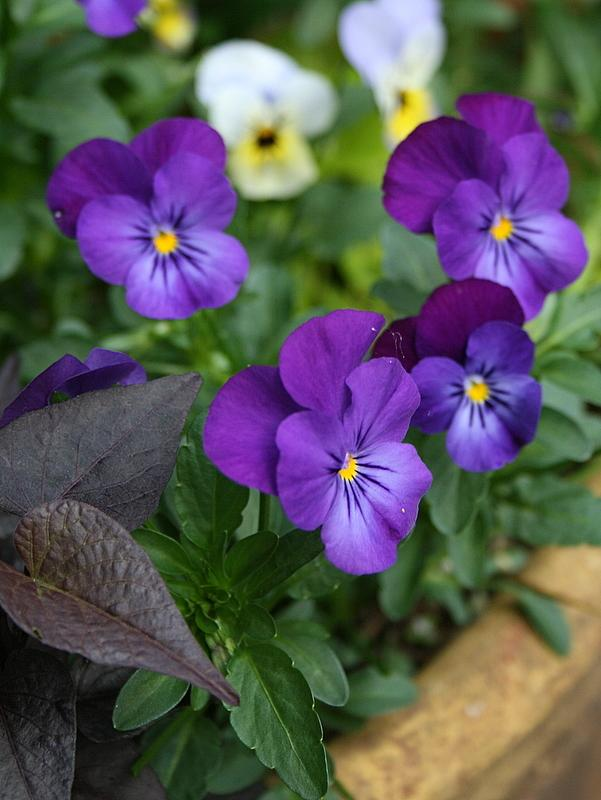 Photo of Horned Violet (Viola cornuta) uploaded by Calif_Sue
