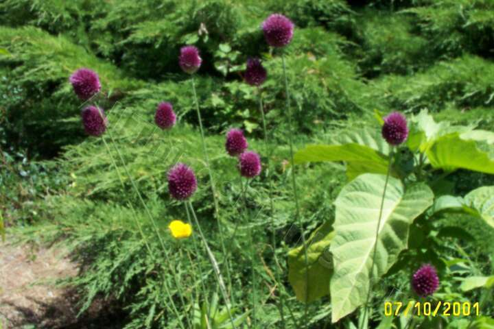 Photo of Drumsticks (Allium sphaerocephalon) uploaded by Joy
