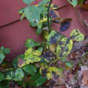 Location: IN my garden. Date: 2011-11-10Rose leaves showing a bad case of Blackspot fungus,