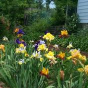 Location: In my garden. Date: 2011-05-27Tall bearded and Dutch Iris in bloom.