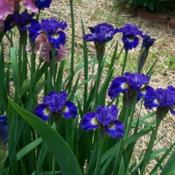 Location: In my garden. Date: 2011-05-27Siberian Iris in bloom.