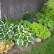 Location: Pleasant Grove, UtahDate: 2011-06-23Hostas