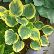 Location: Pleasant Grove, UtahDate: 2011-05-29Hostas