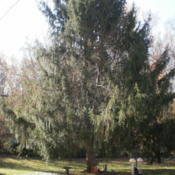 Location: My yardDate: 2011-11-1040-year-old Norway Spruce