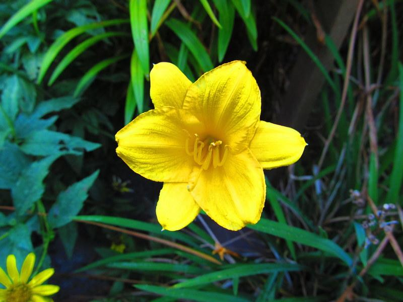 Photo of Daylily (Hemerocallis 'Stella de Oro') uploaded by jmorth