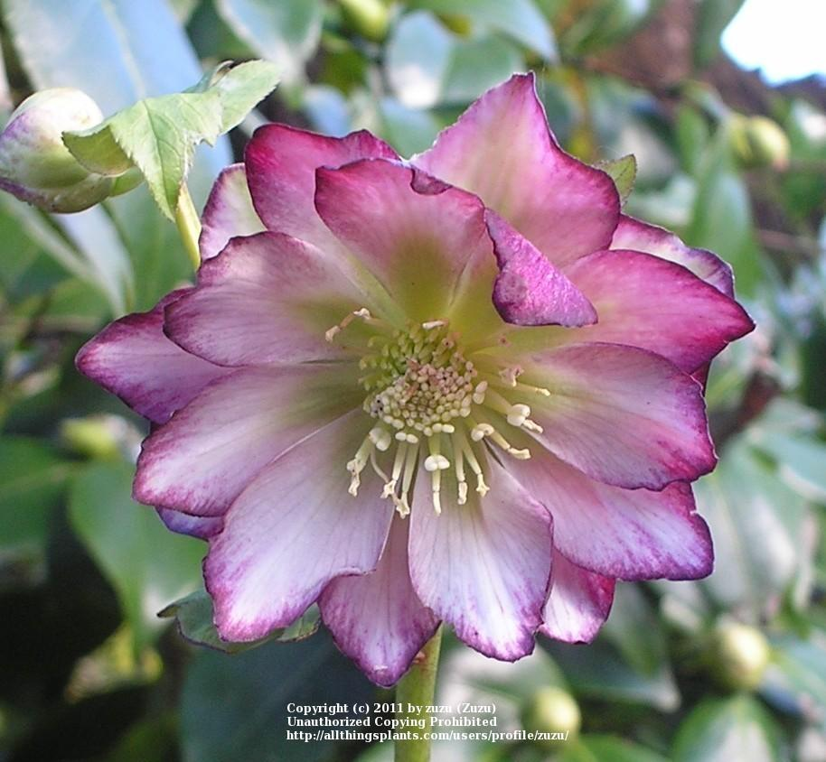 Double Hellebore Helleborus Winter Jewels Peppermint Ice In The