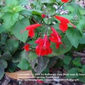 Location: Martin County, Fl. zone 10Date: 2011-01-01Salvia coccinea