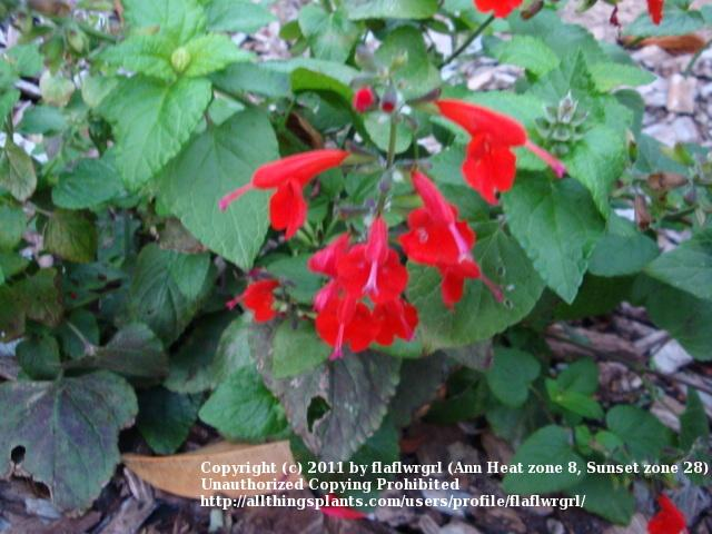 Photo of Scarlet Sage (Salvia coccinea) uploaded by flaflwrgrl