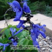 Location: Martin County, Fl. zone 10Date: 2010-12-29Black & Blue salvia