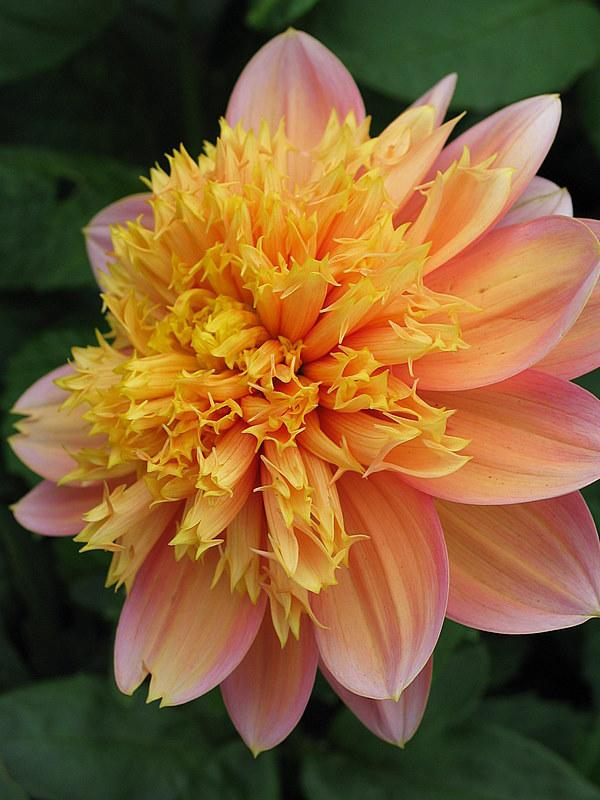 Photo of Dahlias (Dahlia) uploaded by Calif_Sue