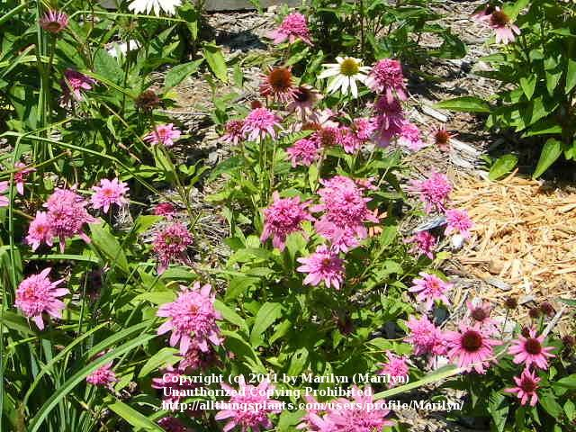 Photo of Coneflower (Echinacea 'Pink Double Delight') uploaded by Marilyn