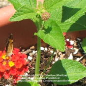 Location: My garden in Northern KYDate: 2006-06-30#Pollination