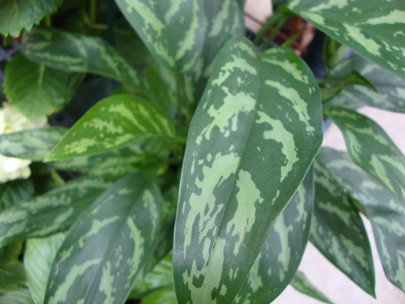 Photo Of The Leaves Of Chinese Evergreen Aglaonema