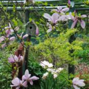 Location: My Northeastern Indiana Gardens - Zone 5bDate: 2011-05-10Bloom period coincides with this saucer magnolia for a nice late-