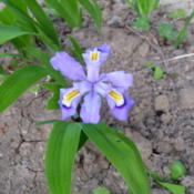 Location: Indiana  Zone 5Date: 2011-05-11