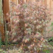Location: My garden in Bakersfield, CADate: Nov.13, 2011 Tamukeyama starting to change colors in November