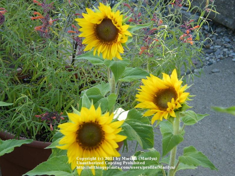 Photo of Dwarf Sunflower (Helianthus annuus 'Elf') uploaded by Marilyn