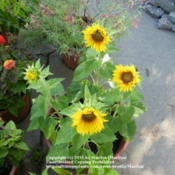 Location: My garden in KentuckyDate: 2009-08-06