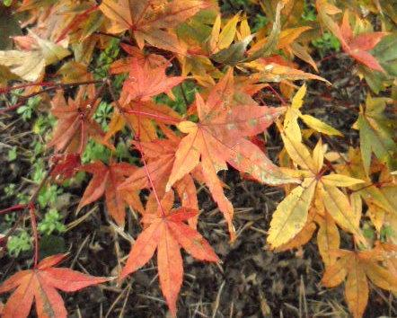 Photo Of The Leaves Of Japanese Maple Acer Palmatum Corallinum