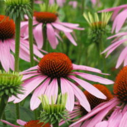 All About Coneflowers